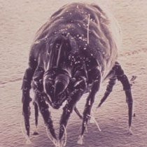 Dust mite viewed under microscope